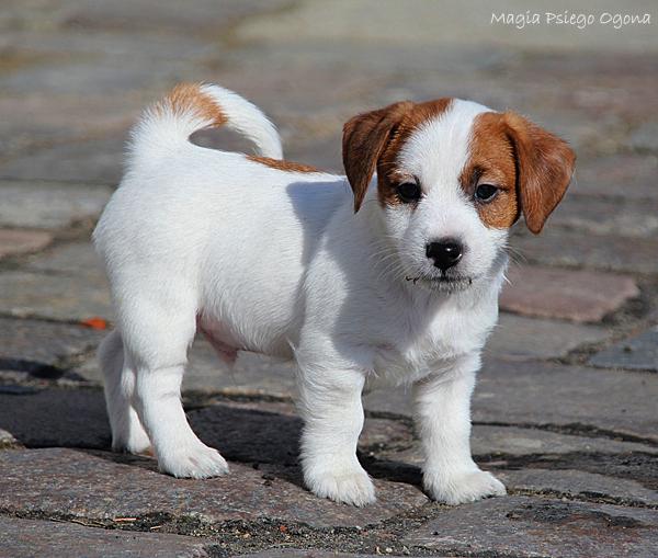 Miot G Jack Russell Terrier Szczenięta Hodowla Hodowca